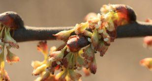 Flowers of American elm.