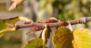 Buds of American elm.