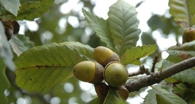 Leaves and acorns of the Chestnut oak (Quercus montana).
