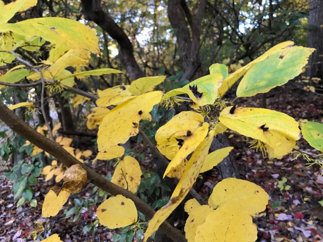 """Yellow Witch hazel leaves, flowers below, black """"witch hat"""" galls of the aphid Hormaphis hamamelidis on top."""