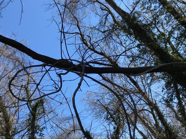 A native grape vine loops over a tree branch on the north bank of Holmes Run.
