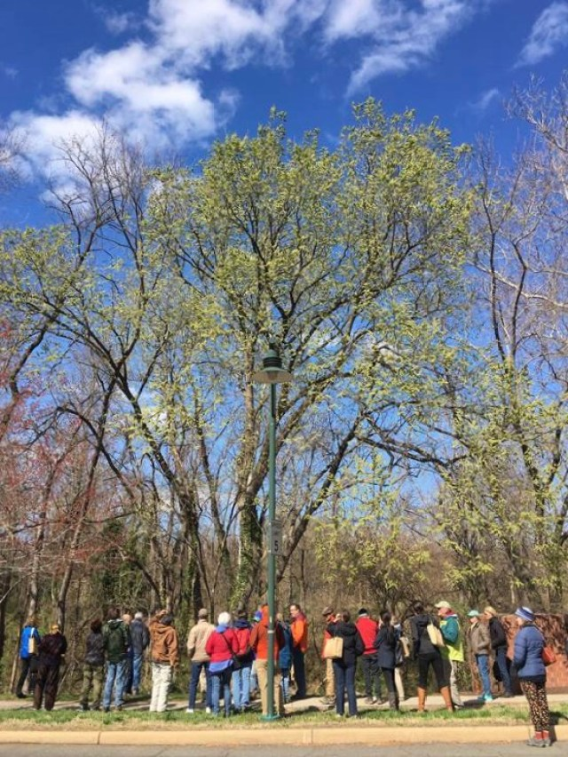 Tree Stewards and other environmentalists admire an American elm laden with light-green seeds. Photo by R.H. Simmons