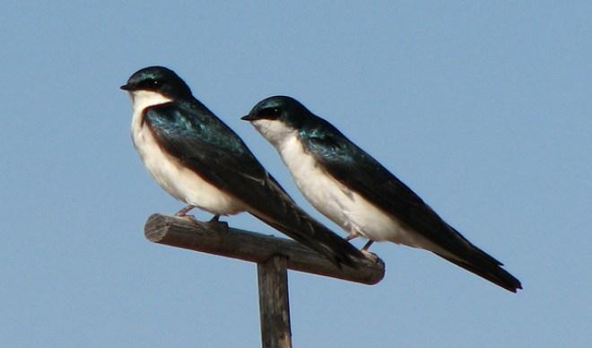 tree swallow pair on perch bar