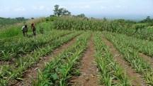 Guatemala organic pineapples