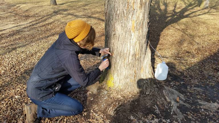 Danielle pushing a spile in to a maple tree