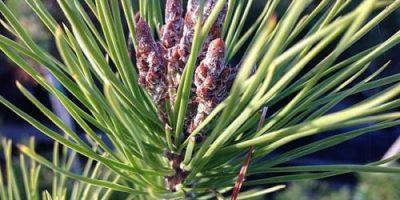 Foliar Bud