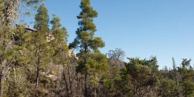 Tree ca. 6 m tall near the edge of a recent burn, Bonny Doon, California [C.J. Earle, 2014.01.20].