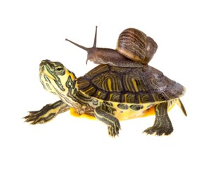 snail taking a ride on a turtle