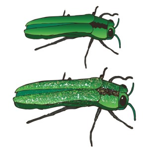 Emerald Ash Borer pest