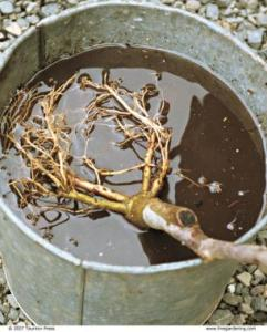 Bare root tree soaking in bucket of water