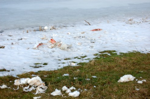 Winter had taken its toll among the swans. This was not the only one...