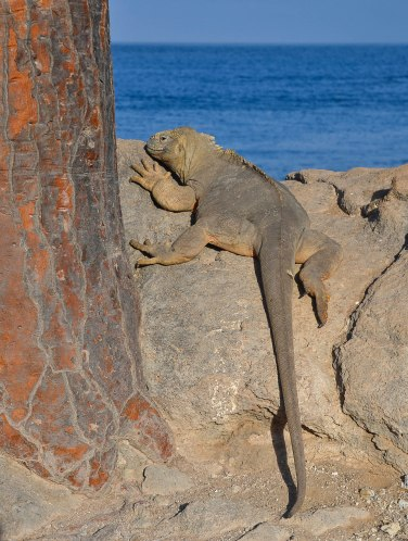 Sunbathing Iguana. The trunk belongs to a giant Opuntia