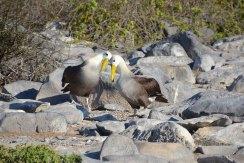 The sweet Albatros couples...