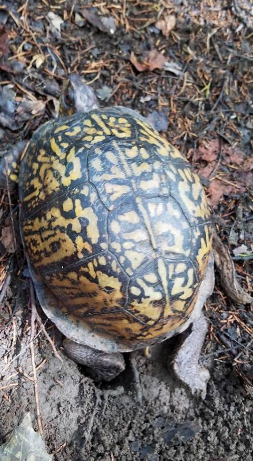 Turtle-on-Monte-Sano-hike-2016-07-11