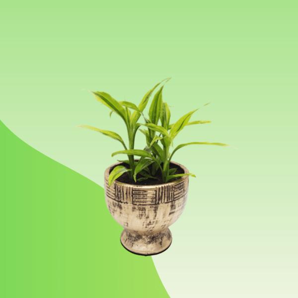 Brac Nursery Draceana Pot Plant- Treevaly.com