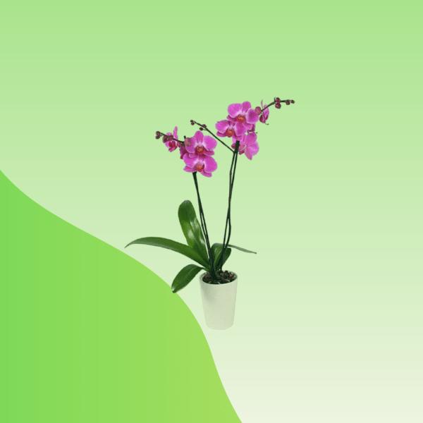 rare orchid flower online bd