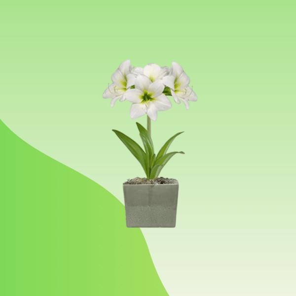 buy amaryllis lily bulb online bd
