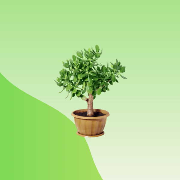 bonsai online bd