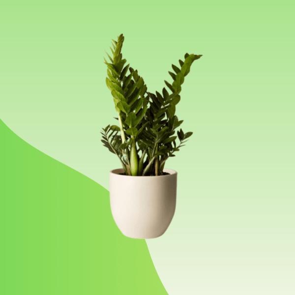 Buy ZZ Plant Online
