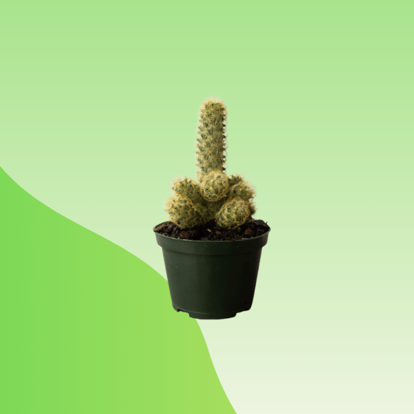 Buy Ladyfinger Cactus Online