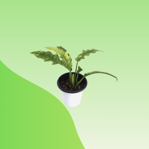 Buy Philodendron Ring of Fire Online