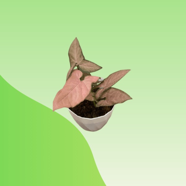 Buy Syngonium Pink Passion Online