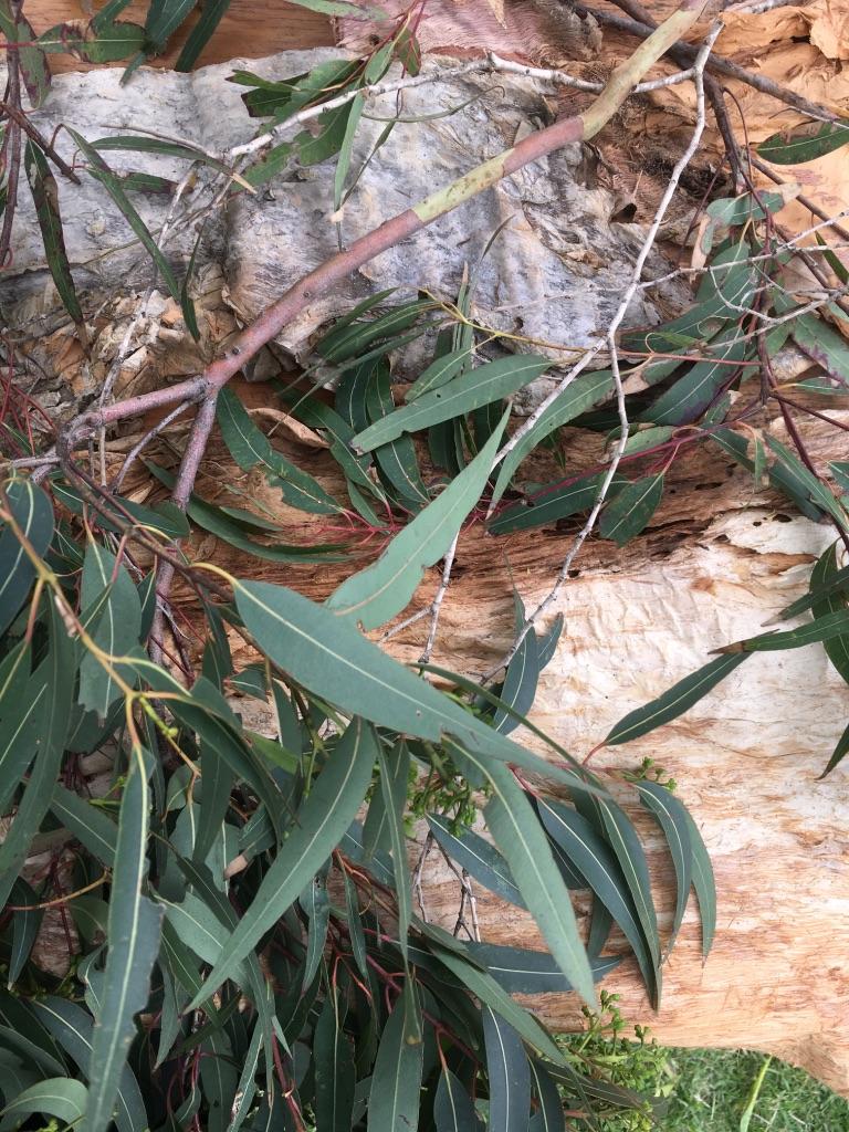 Paperbark and Eucalyptus leaves