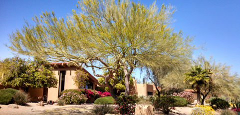 Tree Trimming Az Palo Verde Trees