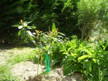 Avocado and Comfrey guild within food forest, New Zealand, 2007
