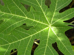 Spoke and wheel pattern of the papaya, sun and shade mix of the emerging food forest on its leaf
