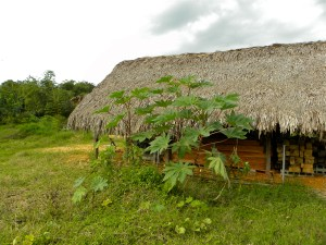Castor plant and the thatched roof of the woodshed on the edge of the pasture