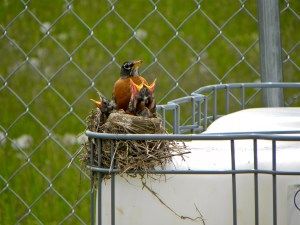 A Robin with chicks at Bpnd Hill Garden on top of the future water tank