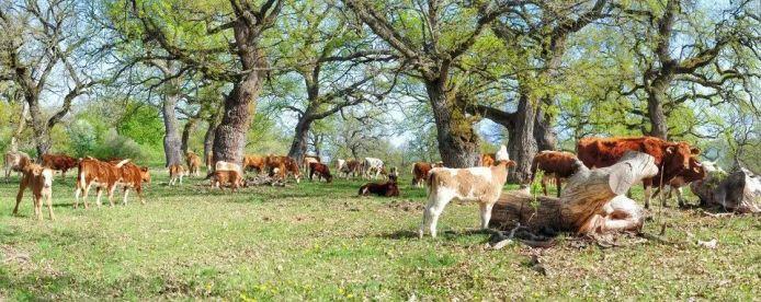 gavurky-cows