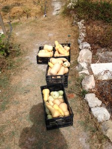 Butternut squash harvest, planted when i was there last