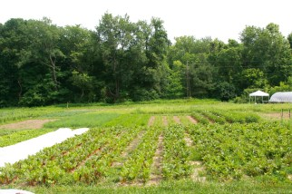 rows of crops, market garden style