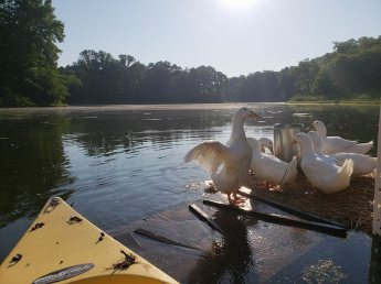 The ducks on the duck island, summer 2018