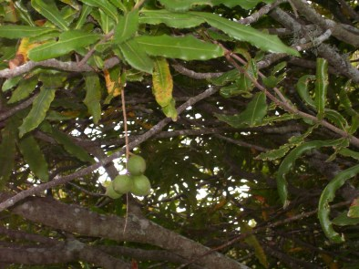 Organic Macadamia, New Zealand, 2007