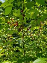 spicebush in full fruiting