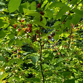 spicebush in full fruiting