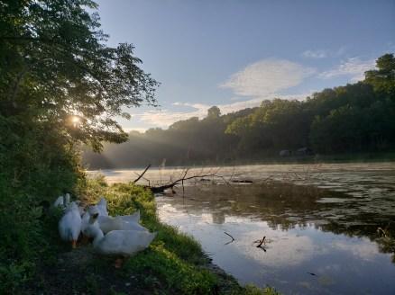 Morning feeding of ducks