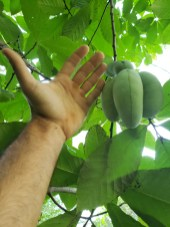 paw paw in the field, big wild ones we have