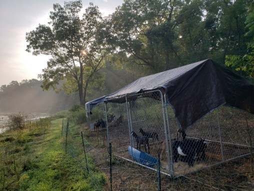 moveable goat pins, morning feeding