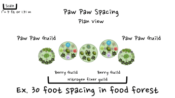 404 paw paw food forest spacing 2