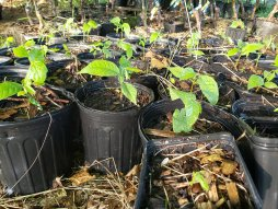 Homegrown Paw Paw seedlings