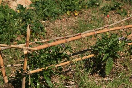 PEPINO DULCE HEDGE, a subtropical viner