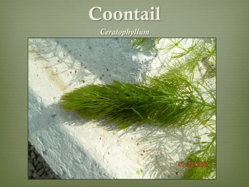 coontail
