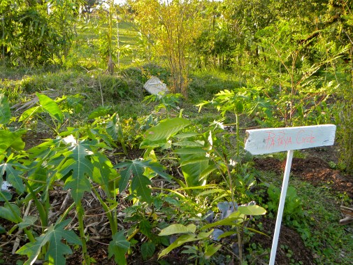 Papaya Circle, a circular raised bed around a pit for compost. Dominican Republic, 2012