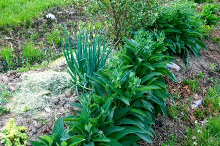 Comfrey edging on a permaculture swale