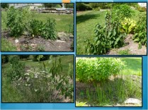 Permaculture Swale plants
