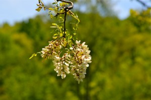 Black Locust in flower feeding the pollinators, but a tree that has a multitude of uses